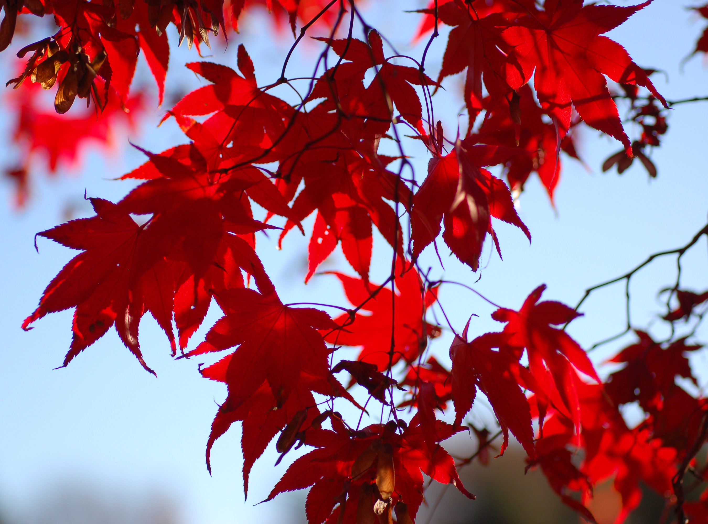 File Japanese Maple Acer Palmatum Backlit