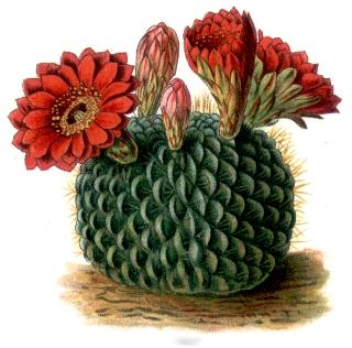 Kaktusowate – Wikipedia, wolna encyklopedia