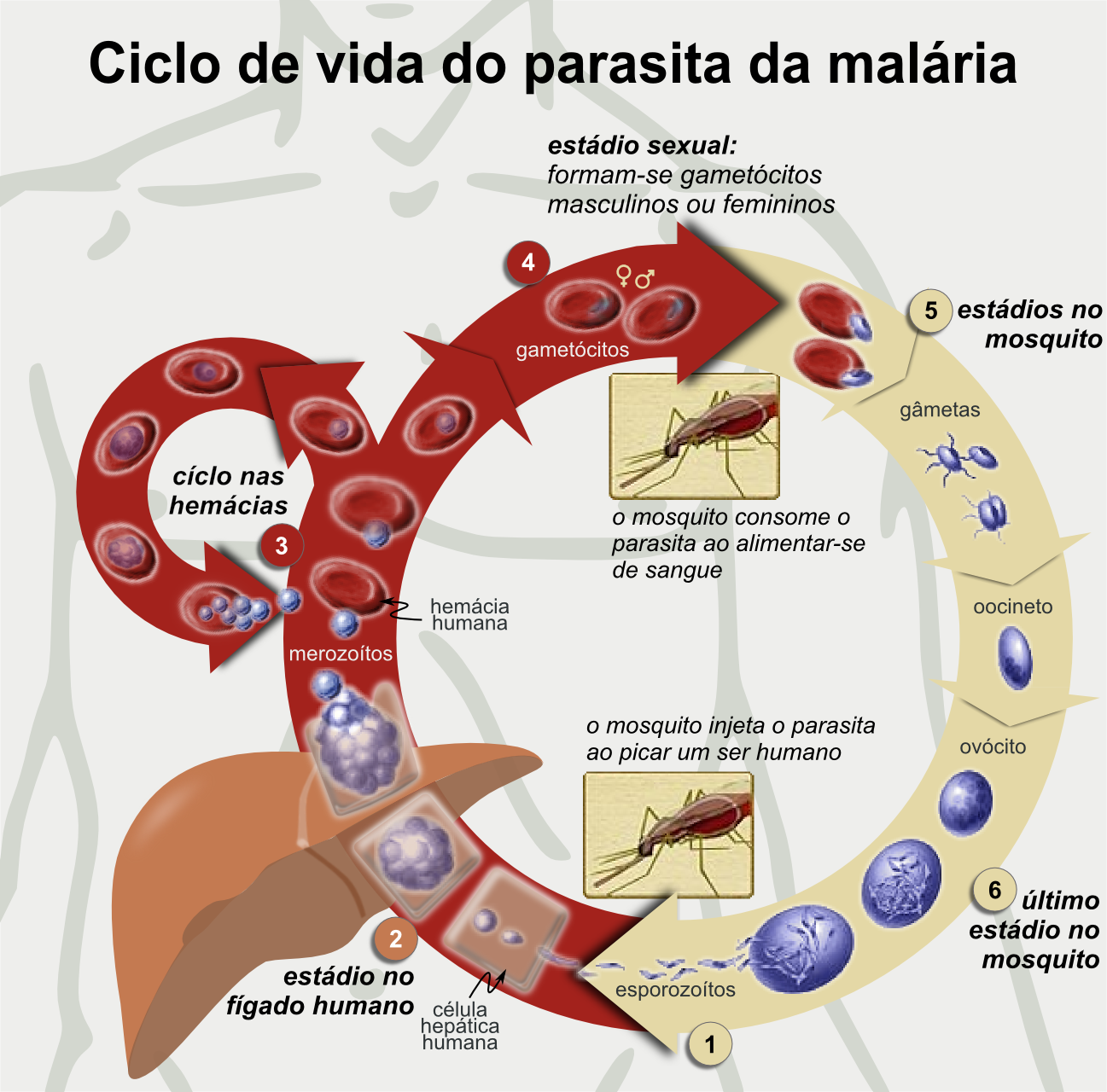 File:Life Cycle of the Malaria Parasite-pt.png - Wikimedia ...