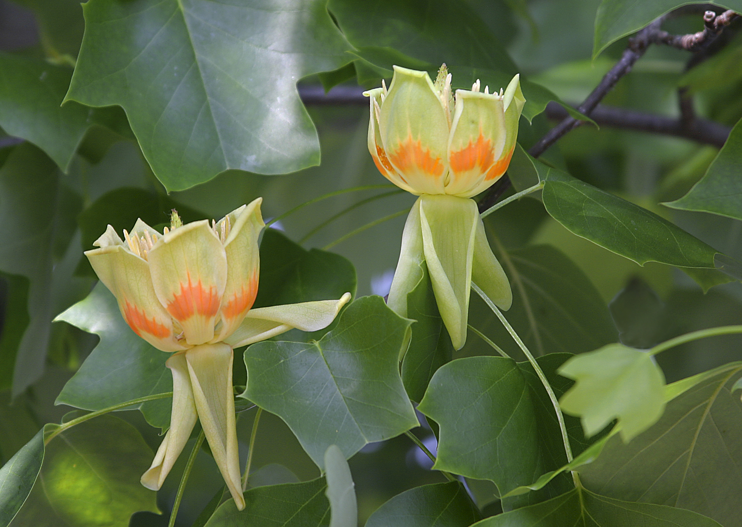 File liriodendron tulipifera flowers - Trees that bloom yellow flowers ...