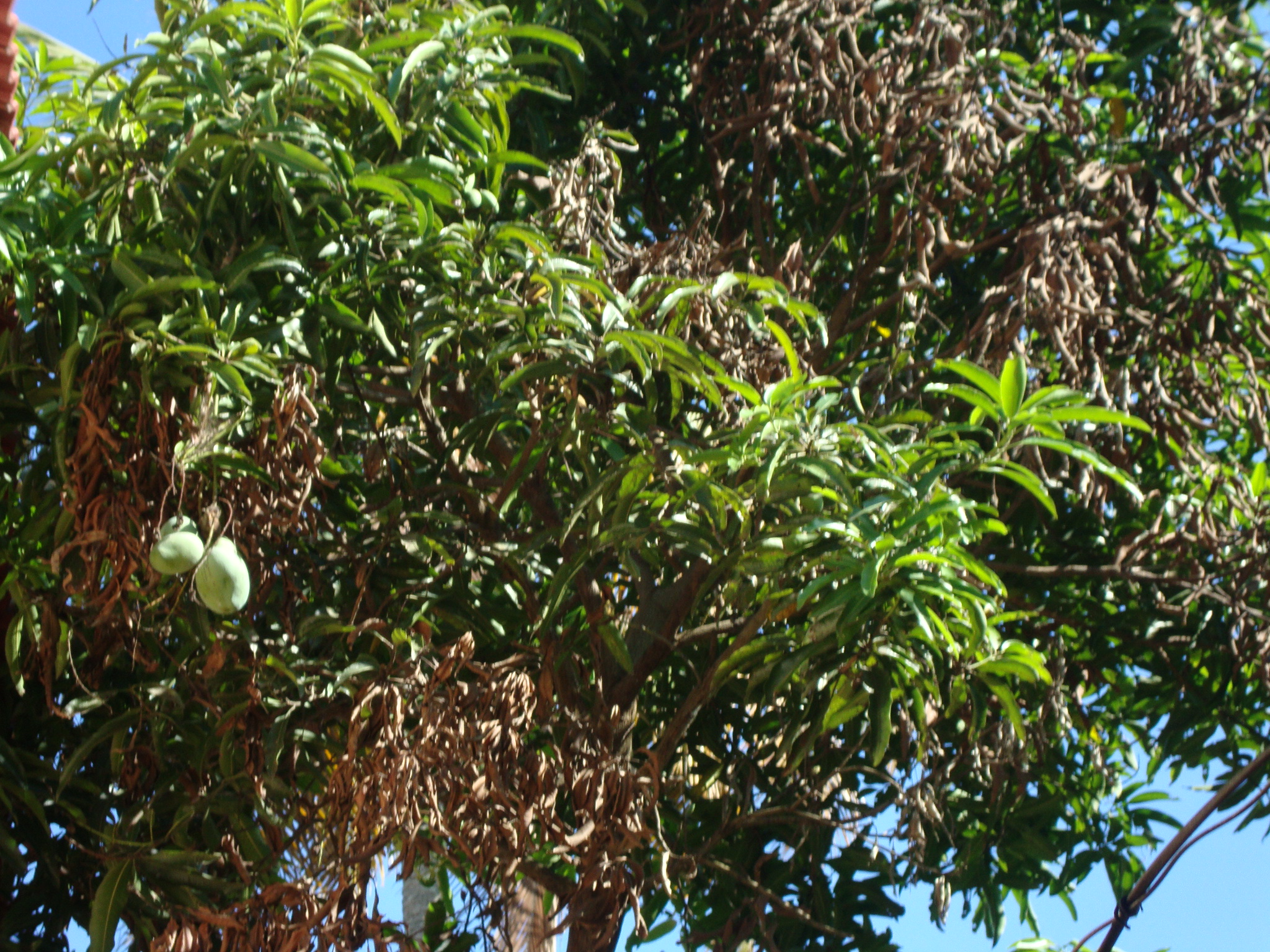 autobiography on a mango tree Autobiography of a tree written by guest contributor june 13, 2016 imagine the body, this body, in it's true form it is not a skeleton.