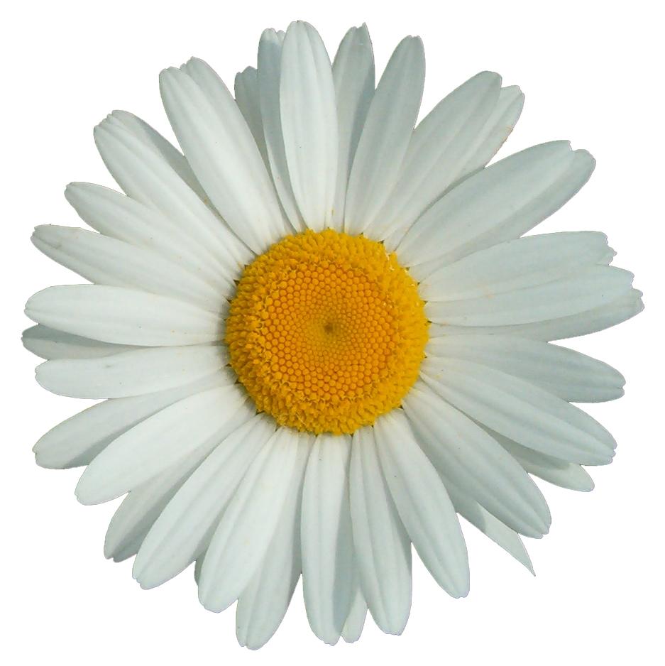 Margar ta rod wikip dia - Image fleur marguerite ...