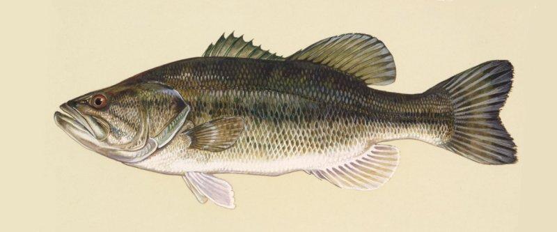 Bass wielkogębowy