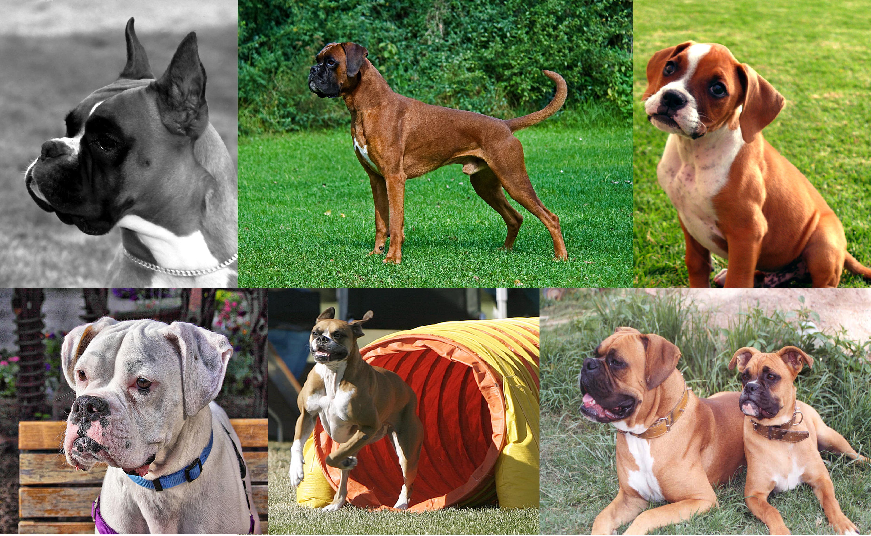 Globulos blancos altos en perros