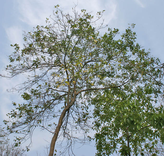 File Moulmein Rosewood Milletia Peguensis Tree In Kolkata W Img 2788 Jpg Wikimedia Commons