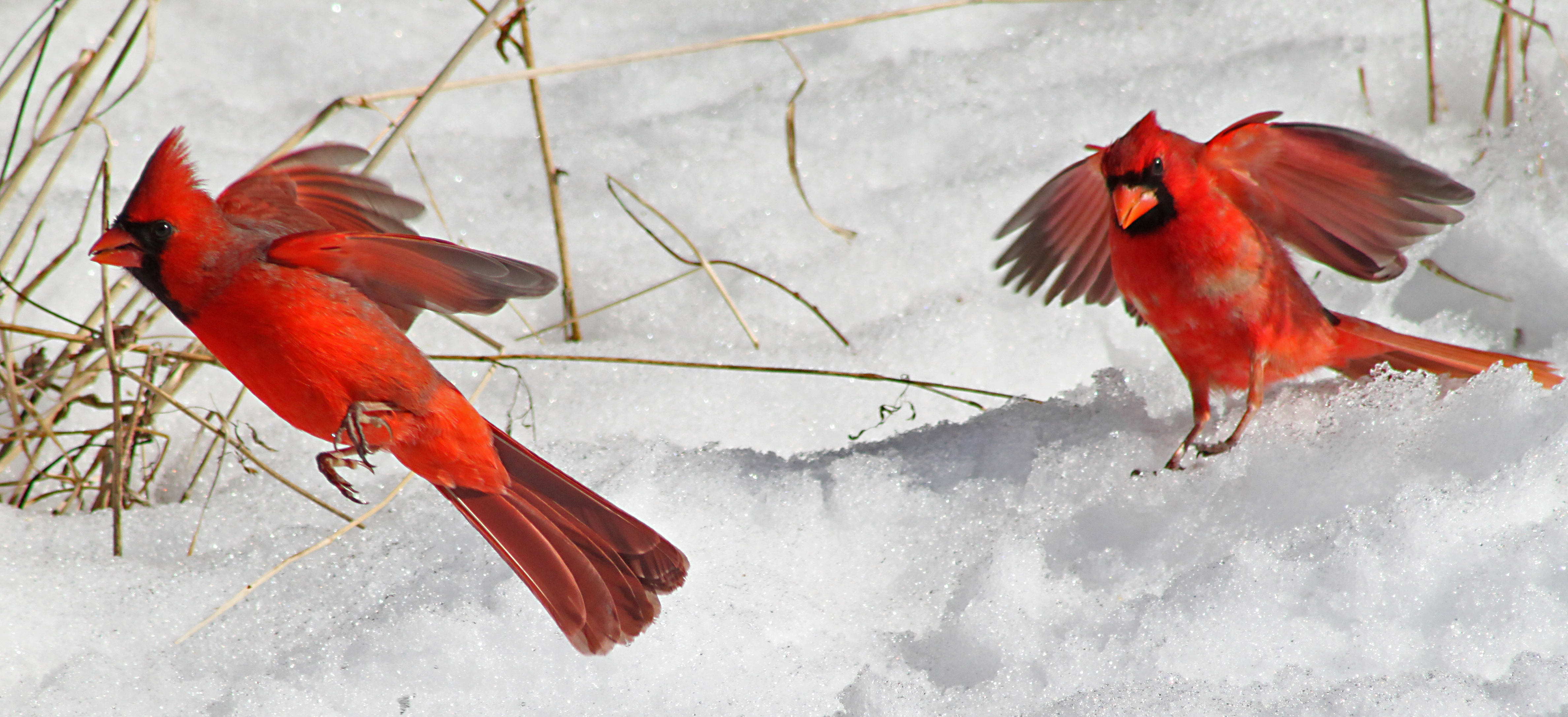 file northern cardinals on snow jpg wikimedia commons