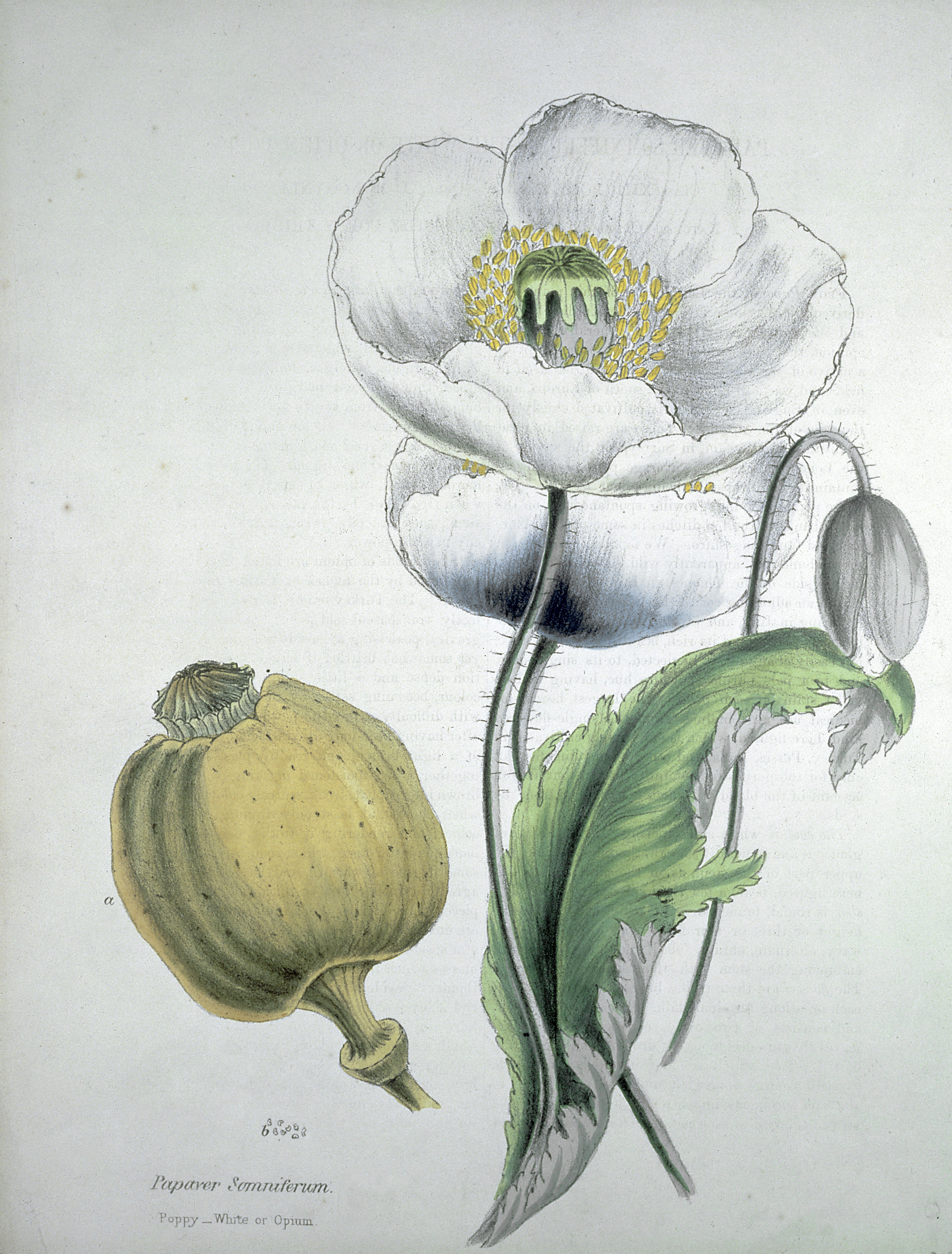 Fileopium Poppy Papaver Somniferum White Flowers Seed Wellcome