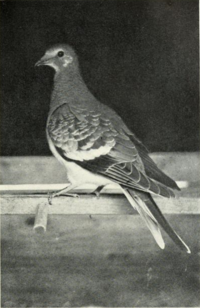 Page The Passenger Pigeon - Mershon djvu 232 - Young Passenger Pigeon.png