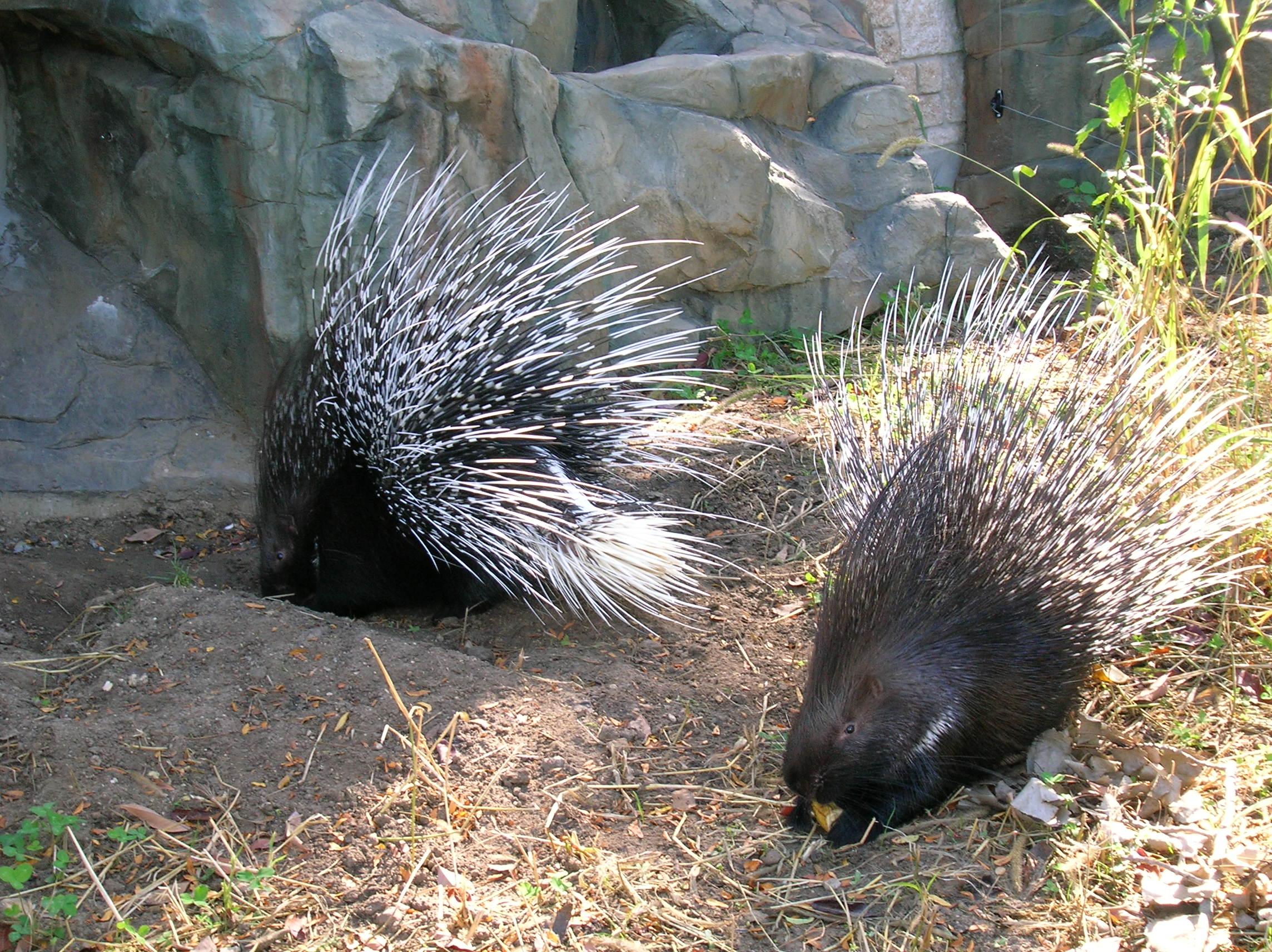 Description Porcupines.jpg