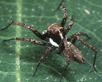 Portia Spider Wikipedia