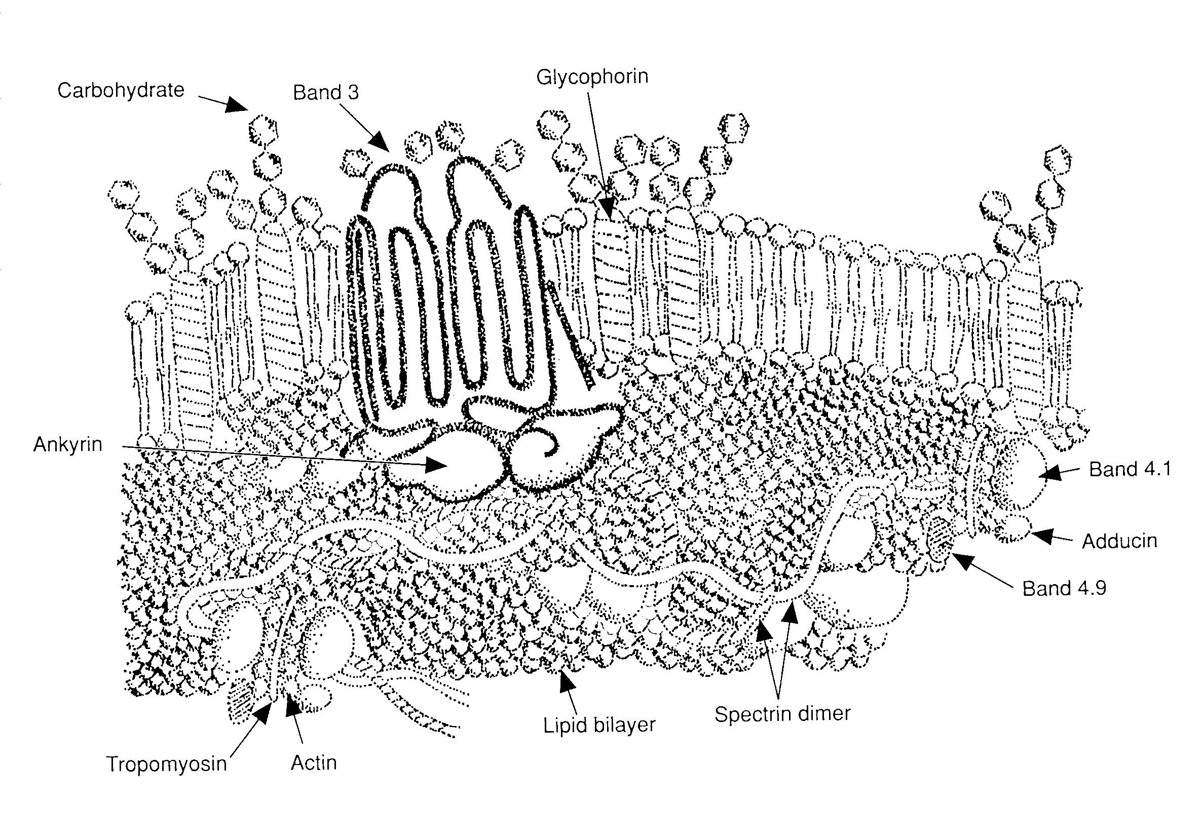 file rbc membrane major proteins jpg wikimedia commons
