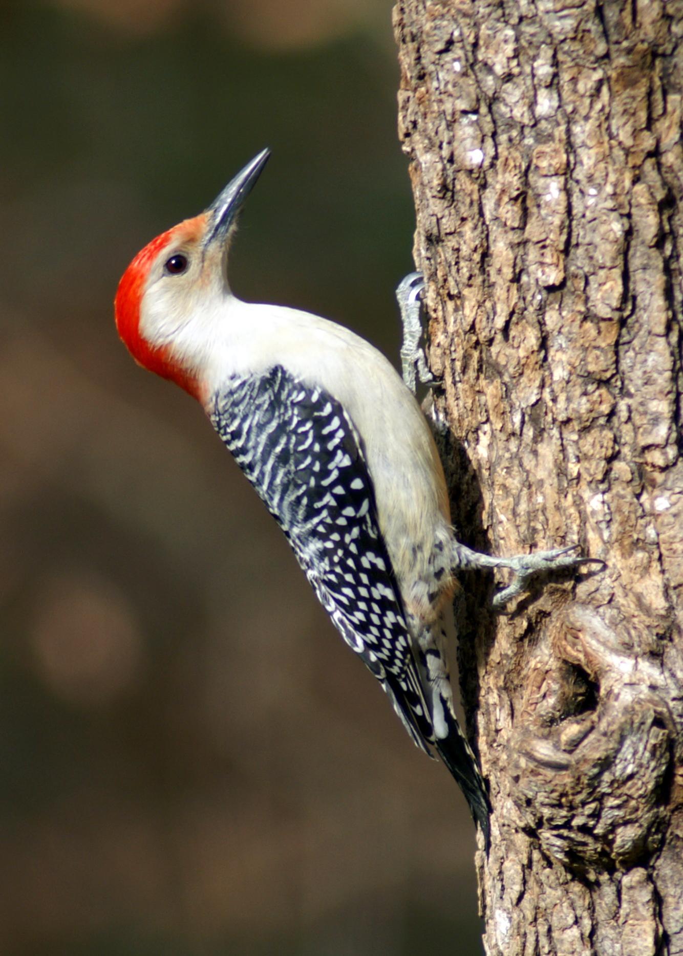 File:Red-bellied Woodpecker Male.JPG