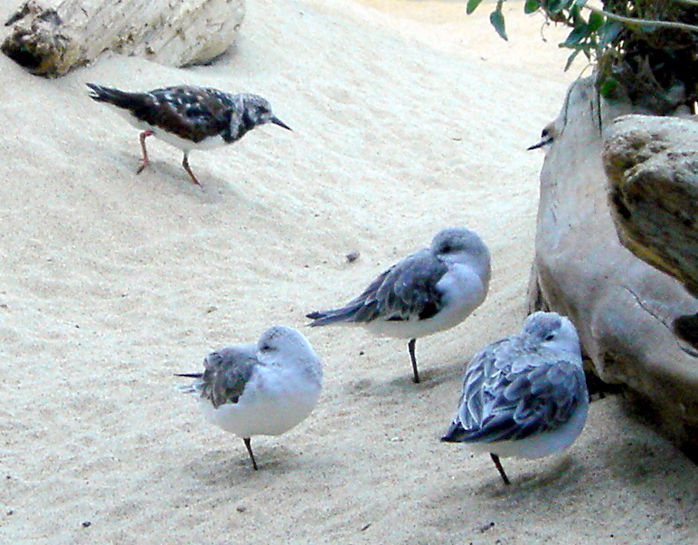 http://upload.wikimedia.org/wikipedia/commons/e/e4/Sanderling700ppx.JPG