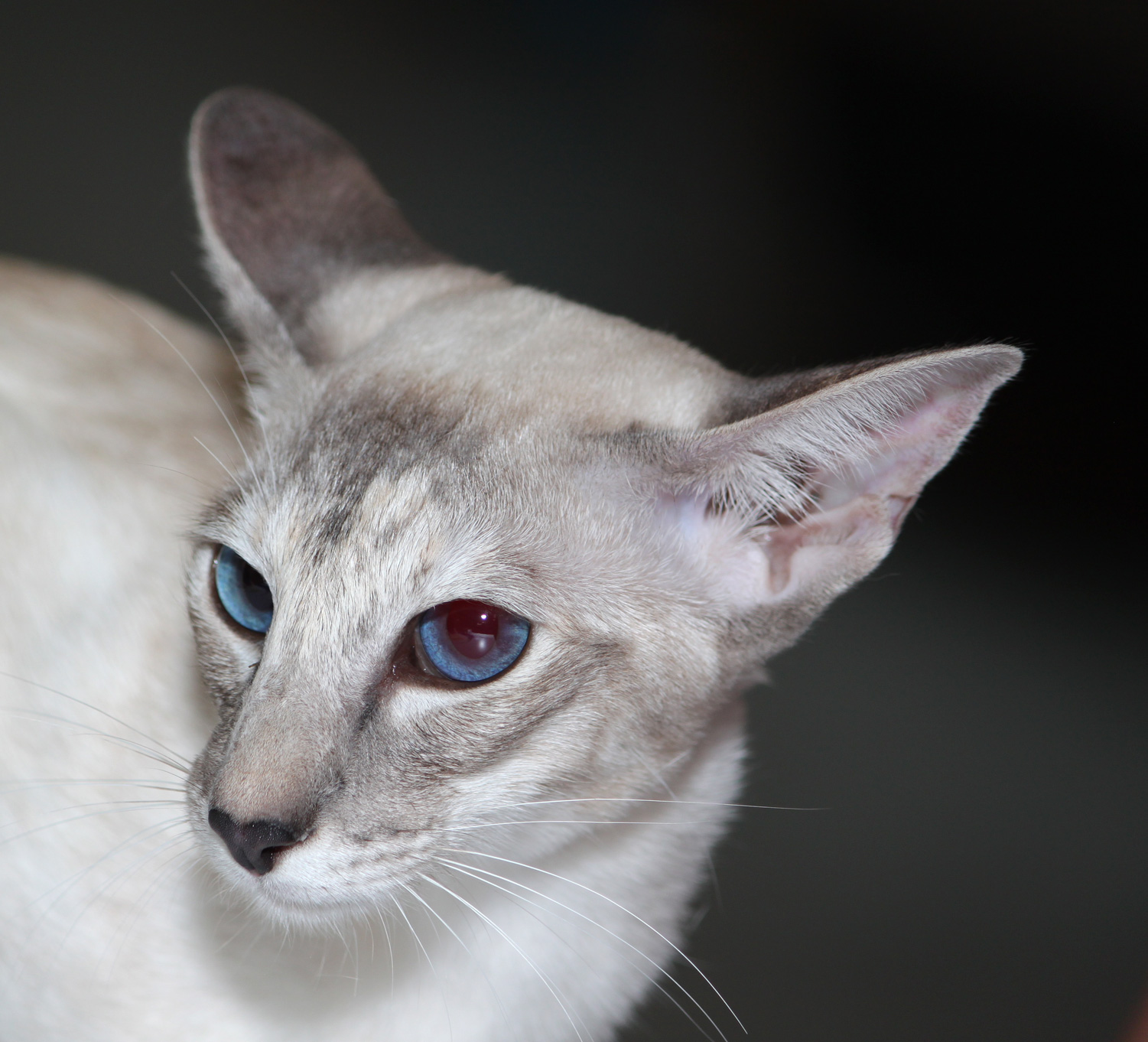 Applehead Siamese Cats For Sale In Nj
