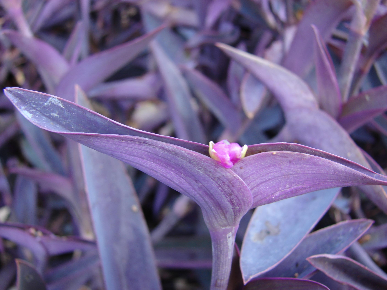 File starr 080531 5033 tradescantia - Purple wandering jew plant ...