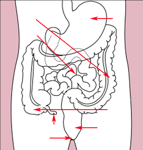Stomach colon rectum diagram (arrow version)