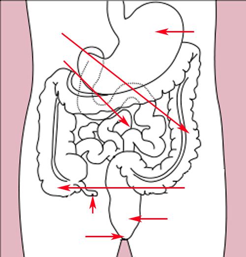 Filestomach Colon Rectum Diagram Arrow Versiong Wikimedia