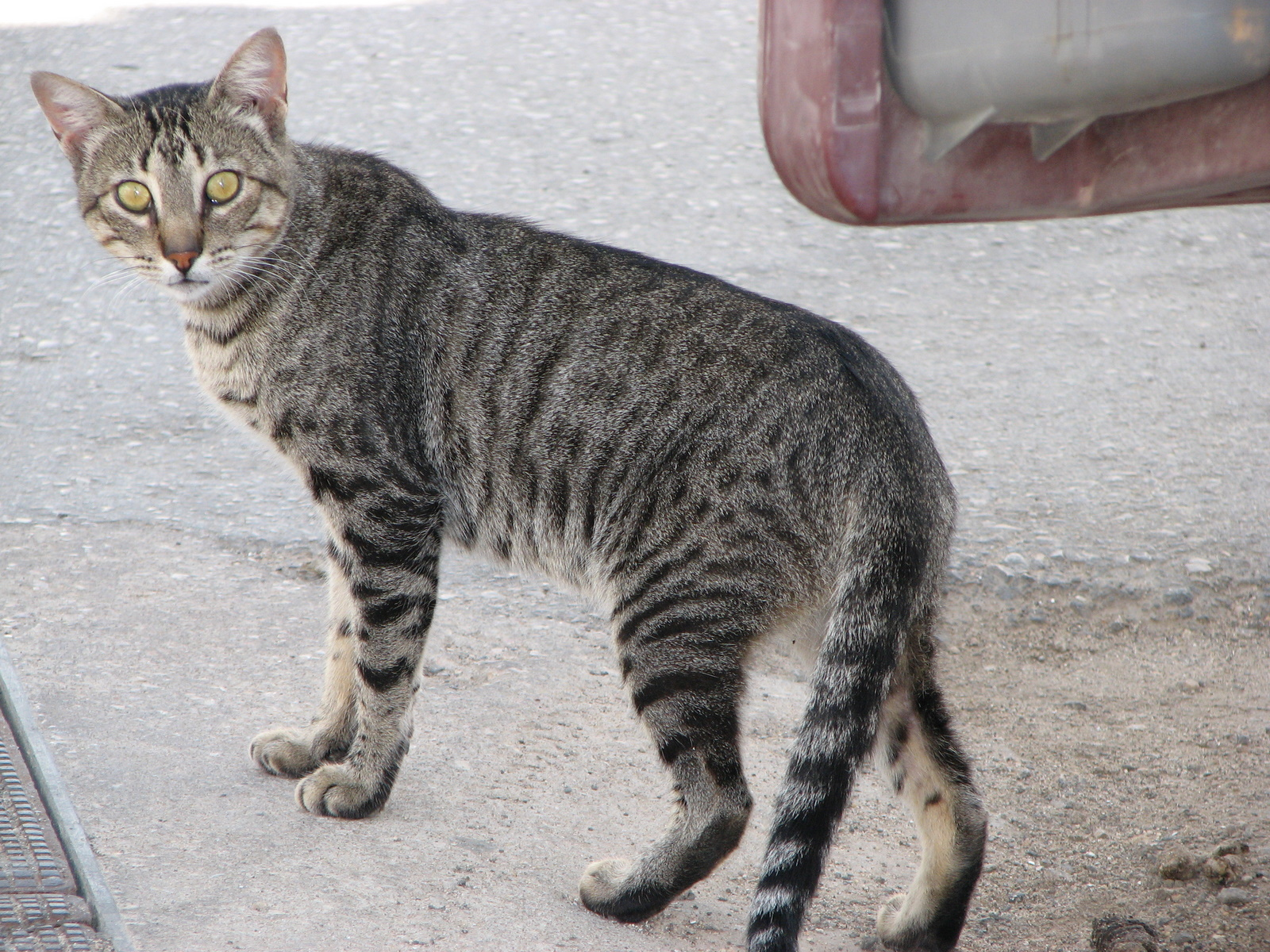Black And Grey Tiger Striped Cat