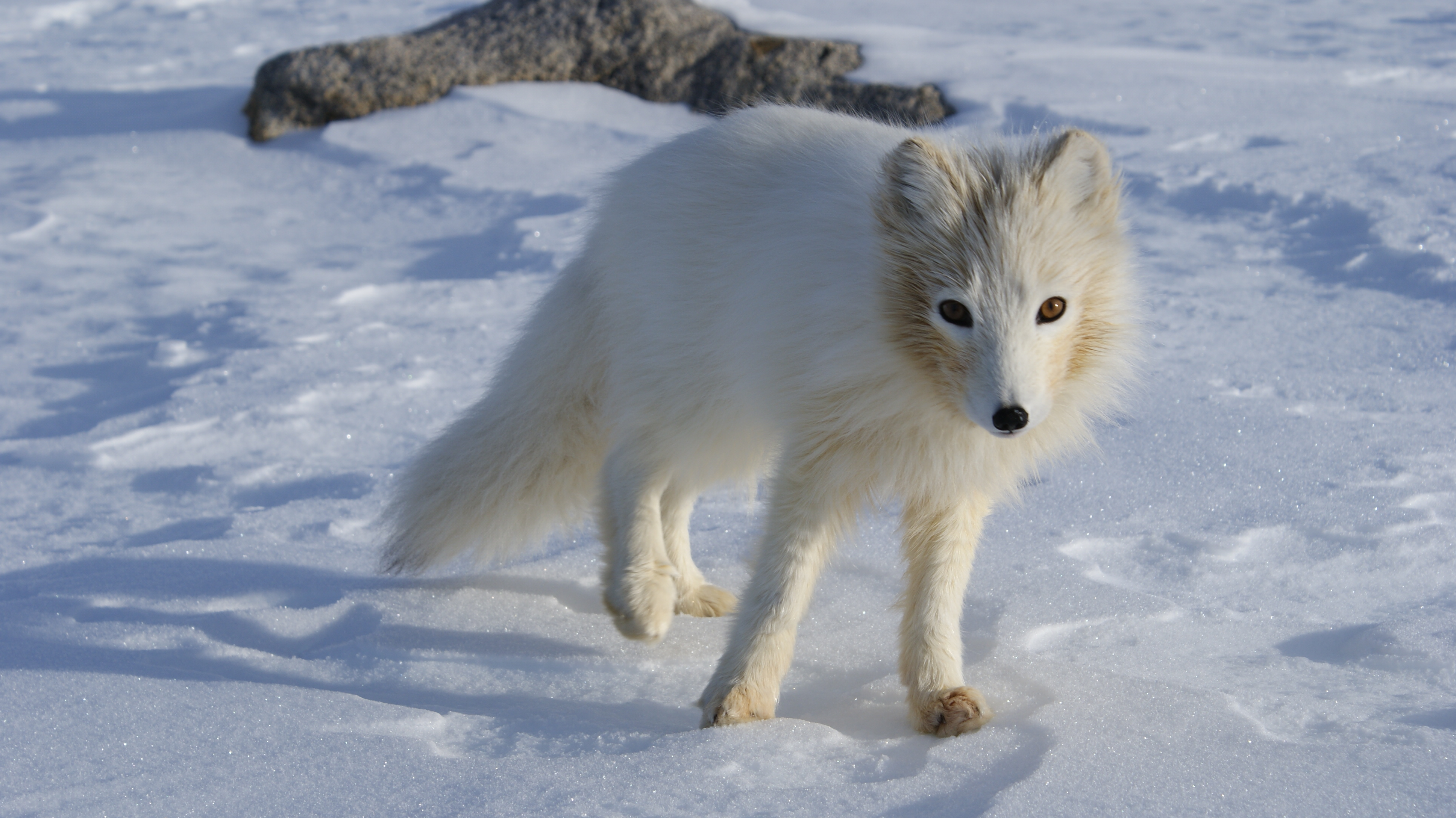 foxes animals most fox arctic ever wikipedia liška polarni things wikimedia comments