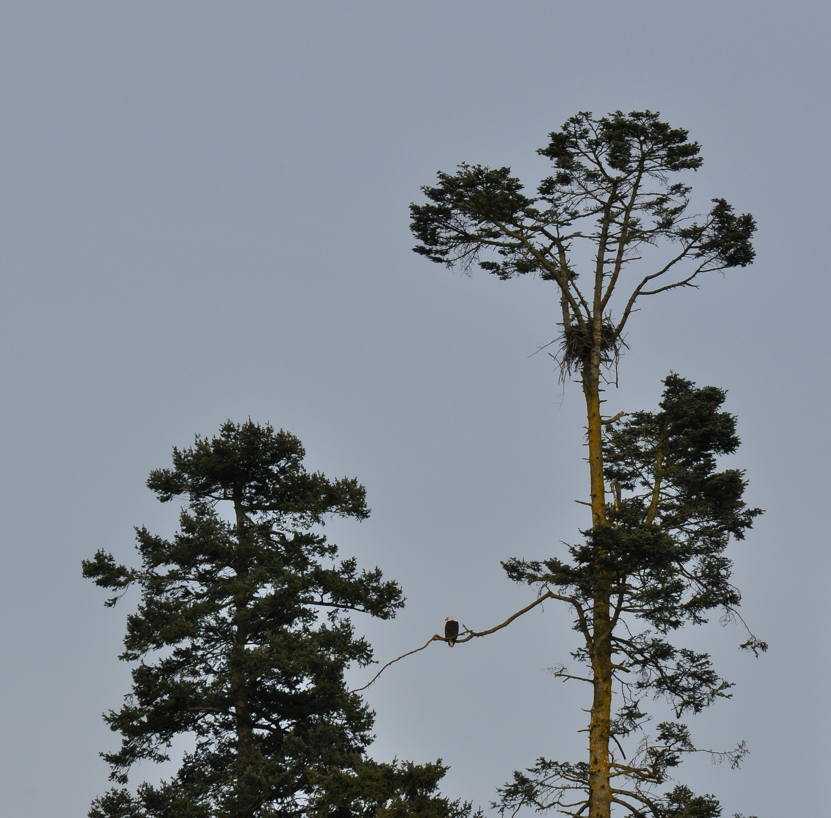 A Bald Eagle  and its nest in a Grand Fir Abies grandis, near the Nicomekl River.