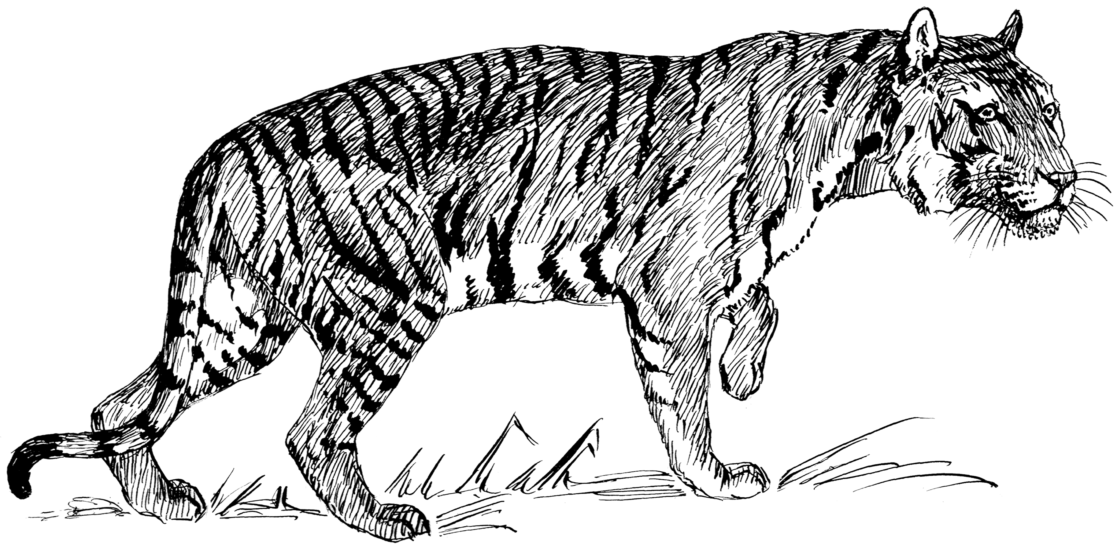 Line Drawing Pictures : File tiger psf wikimedia commons