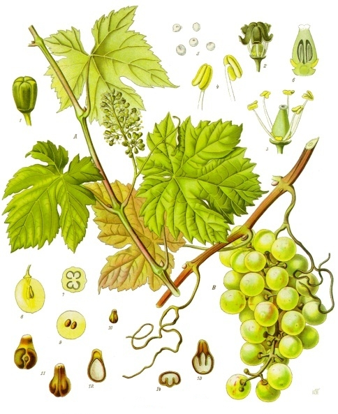 Vitis vinifera - Wikipedia, la enciclopedia libre