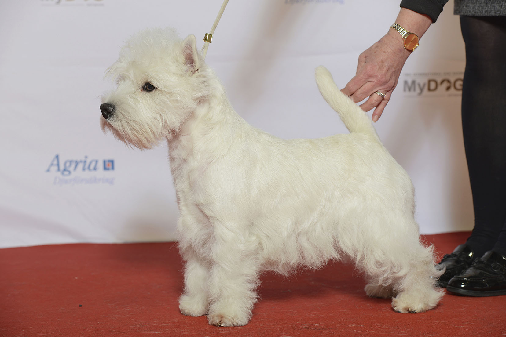 file west highland terrier westicon highland knight 24290878175