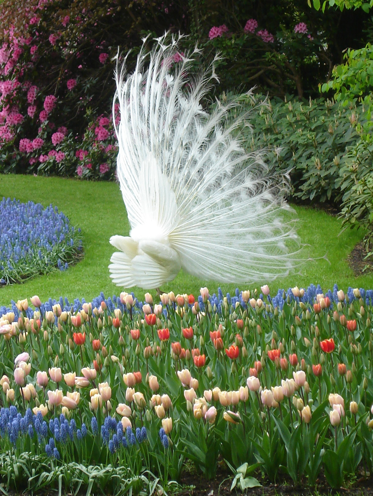 File:White peacock Keukenhof back.jpg