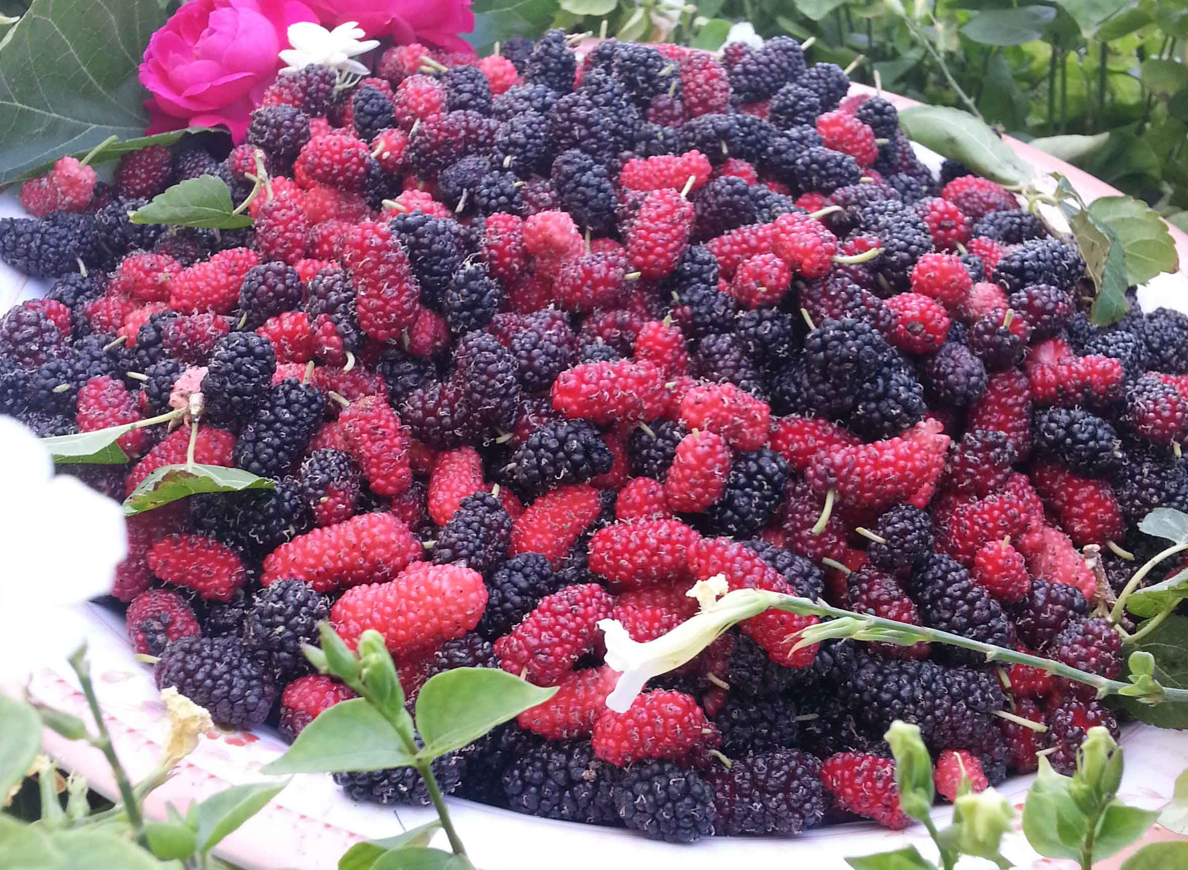 ملف:ثمار صرفاد.jpg - ويكيبيديا
