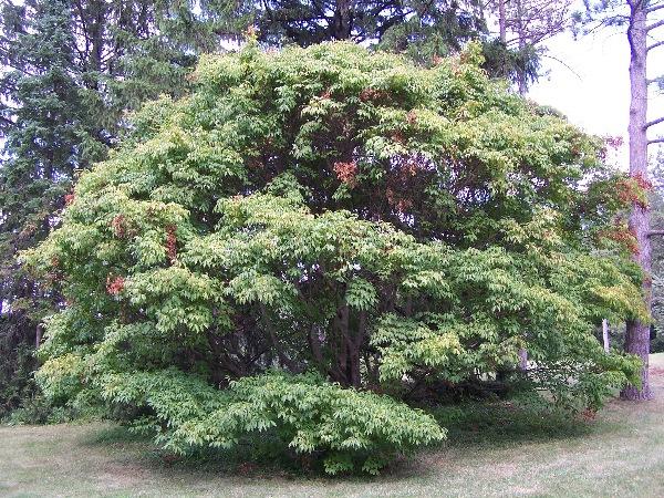 houppier de l' erable à feuilles de vigne