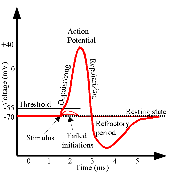 Action Potential Diagram Labeled