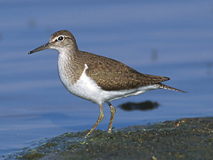 <i>Actitis</i> Genus of birds