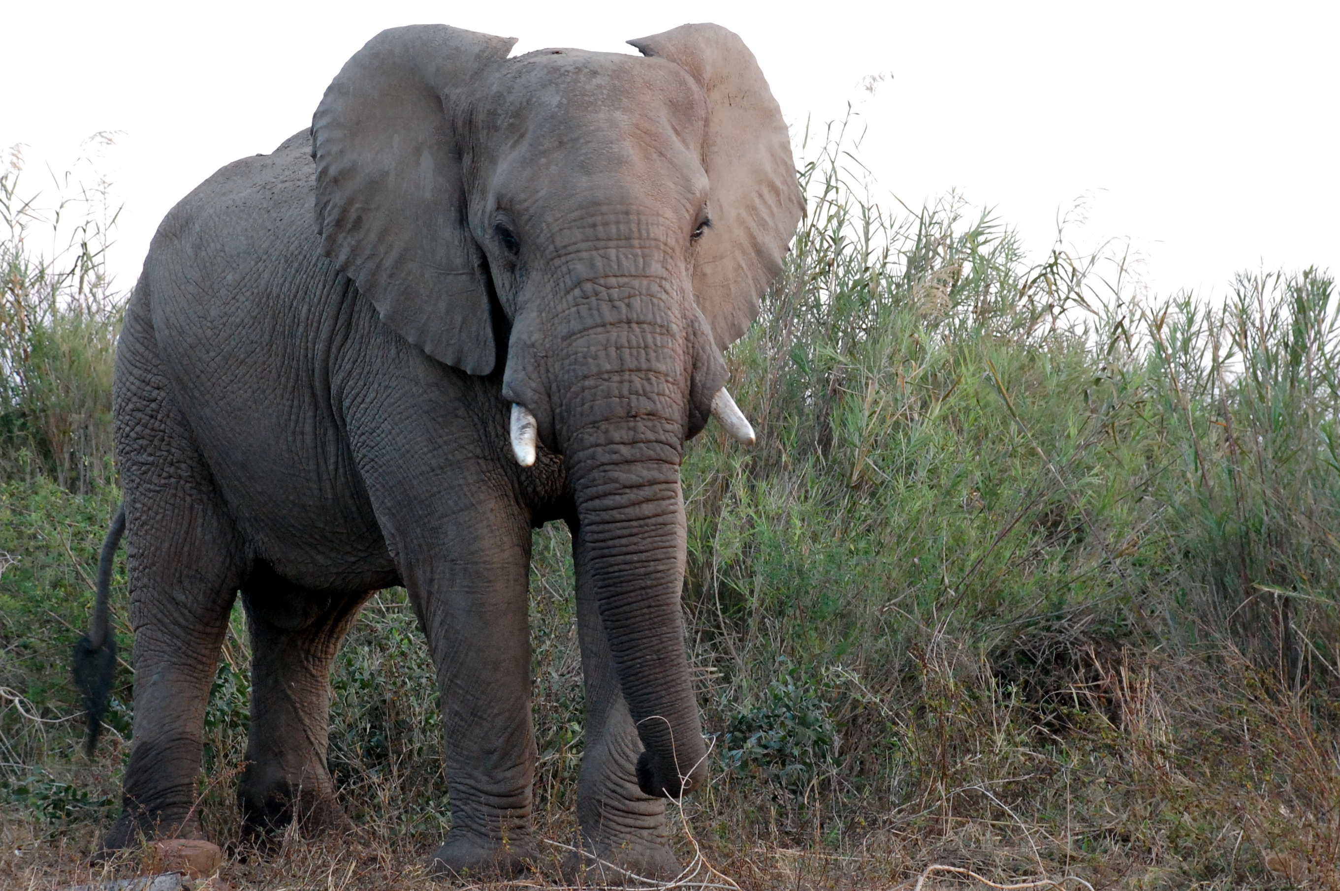 Trump admin. to reverse ban on elephant trophies from Africa