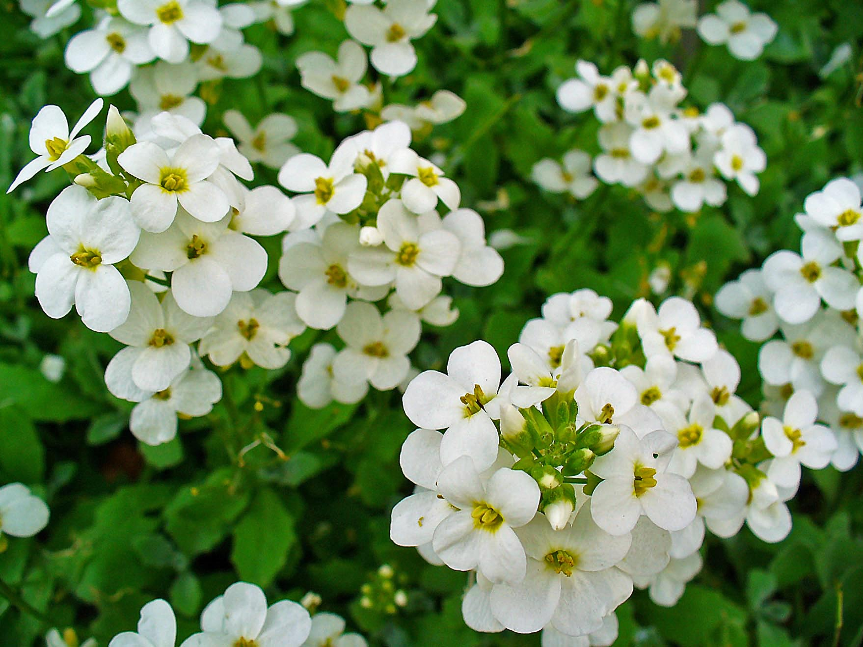 Image result for arabis