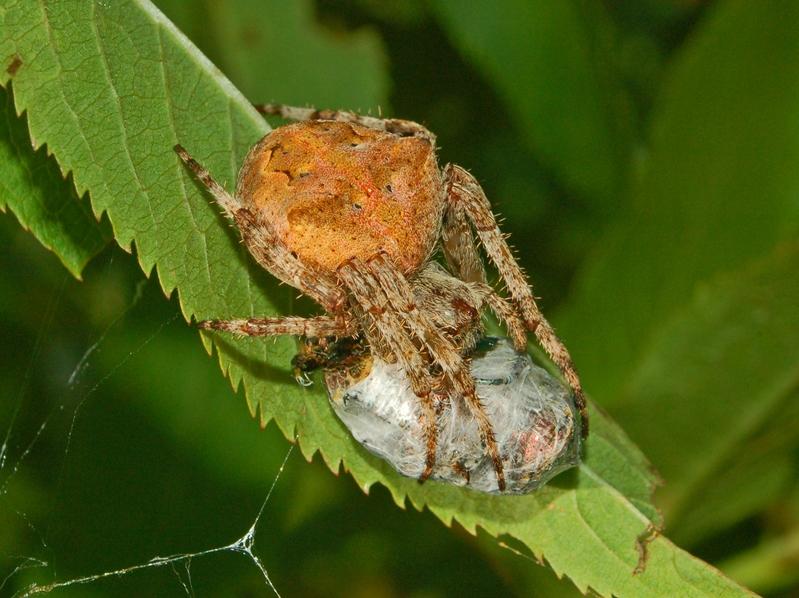 File:Araneidae - Araneus angulatus.JPG