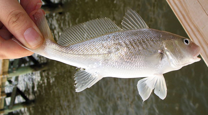 File atlantic wikimedia commons for What is a croaker fish
