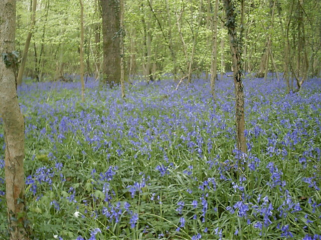 Bluebells in Crab Wood Hampshire - geograph.org.uk - 468810