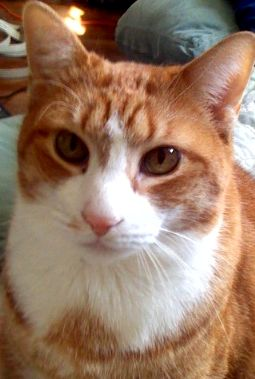 Calvin, a red and white tabby cat - 20080404.jpg