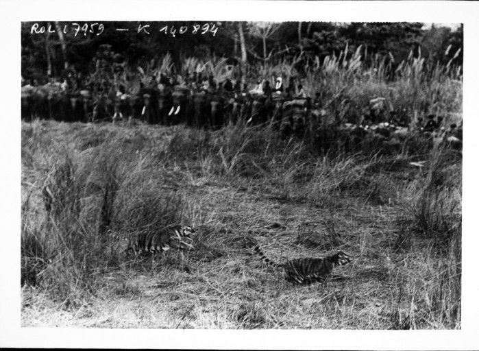 Fichier:Chasse au tigre du roi Georges V.jpeg