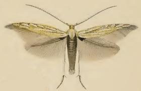 <i>Coleophora lixella</i> species of insect