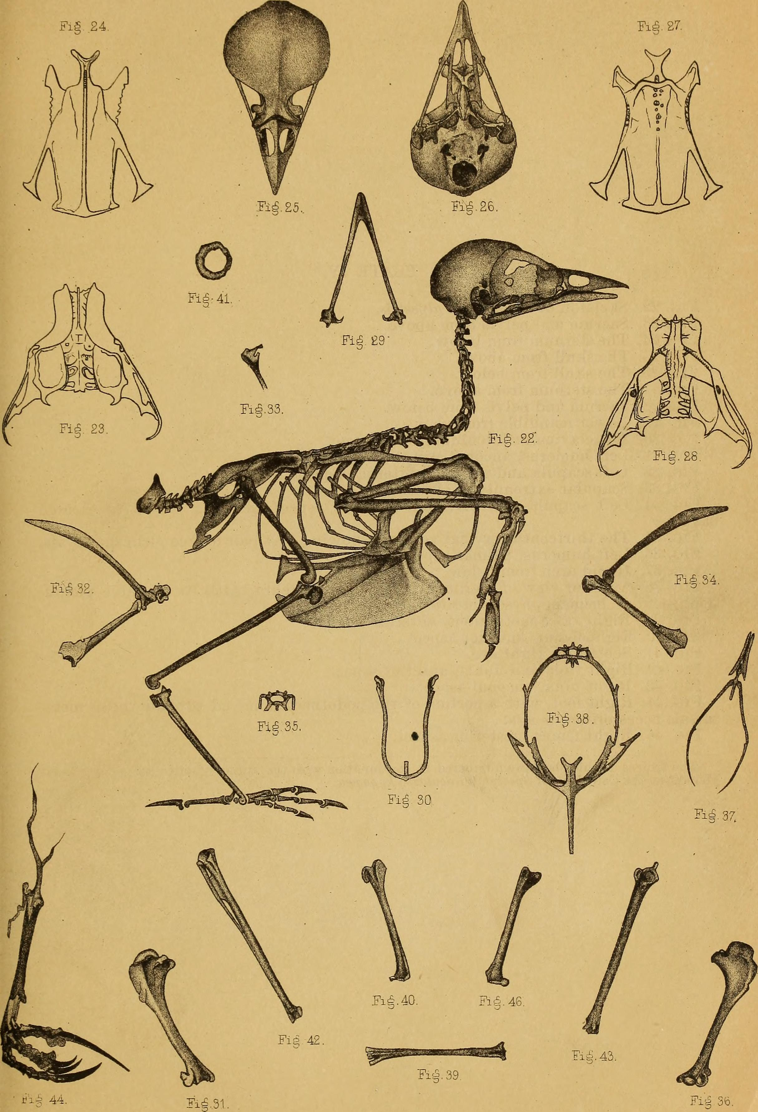 Filecontributions To The Anatomy Of Birds 1882 14568780937g
