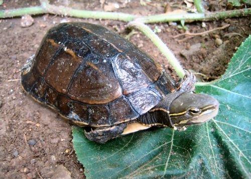 Yunnan Box Turtle