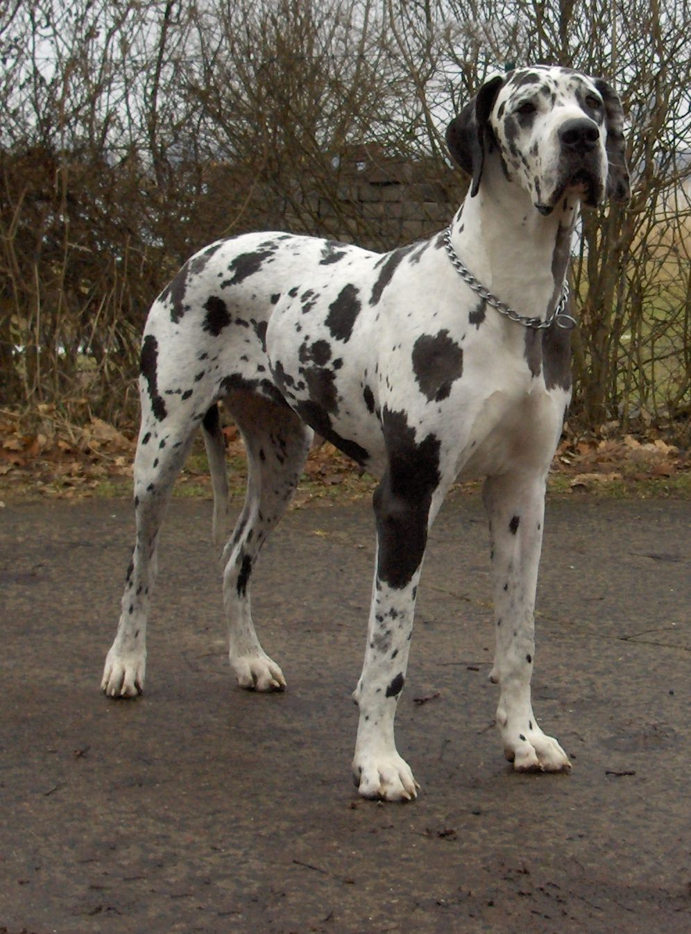 Great Dane - Wikipedia
