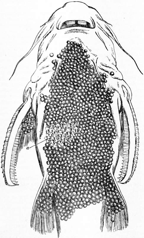 EB1911 Cat-fish Fig. 6.—Abdomen of Aspredo batrachus.jpg
