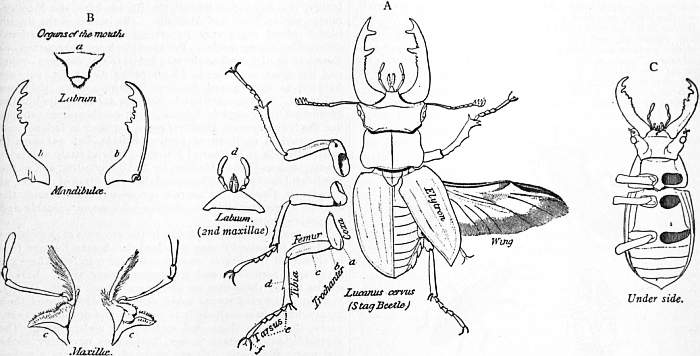 EB1911 Coleoptera - Fig. 1.—Structure of Male Stag-Beetle.jpg