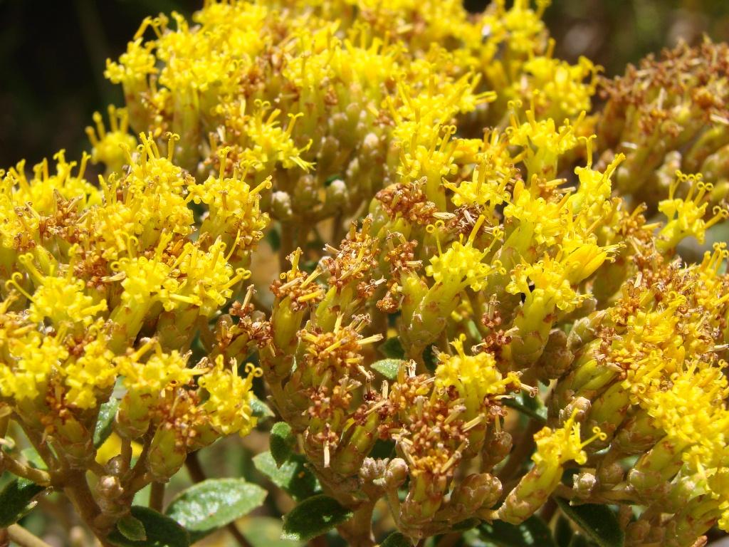 Calea (plant) - Wikipedia
