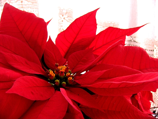 File Flower poinsettia D2