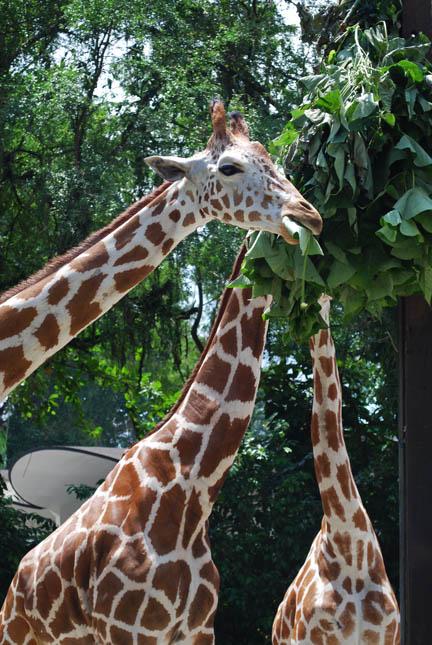 N. Laryngeus Recurrens Giraffe kan de giraffe bij hoog