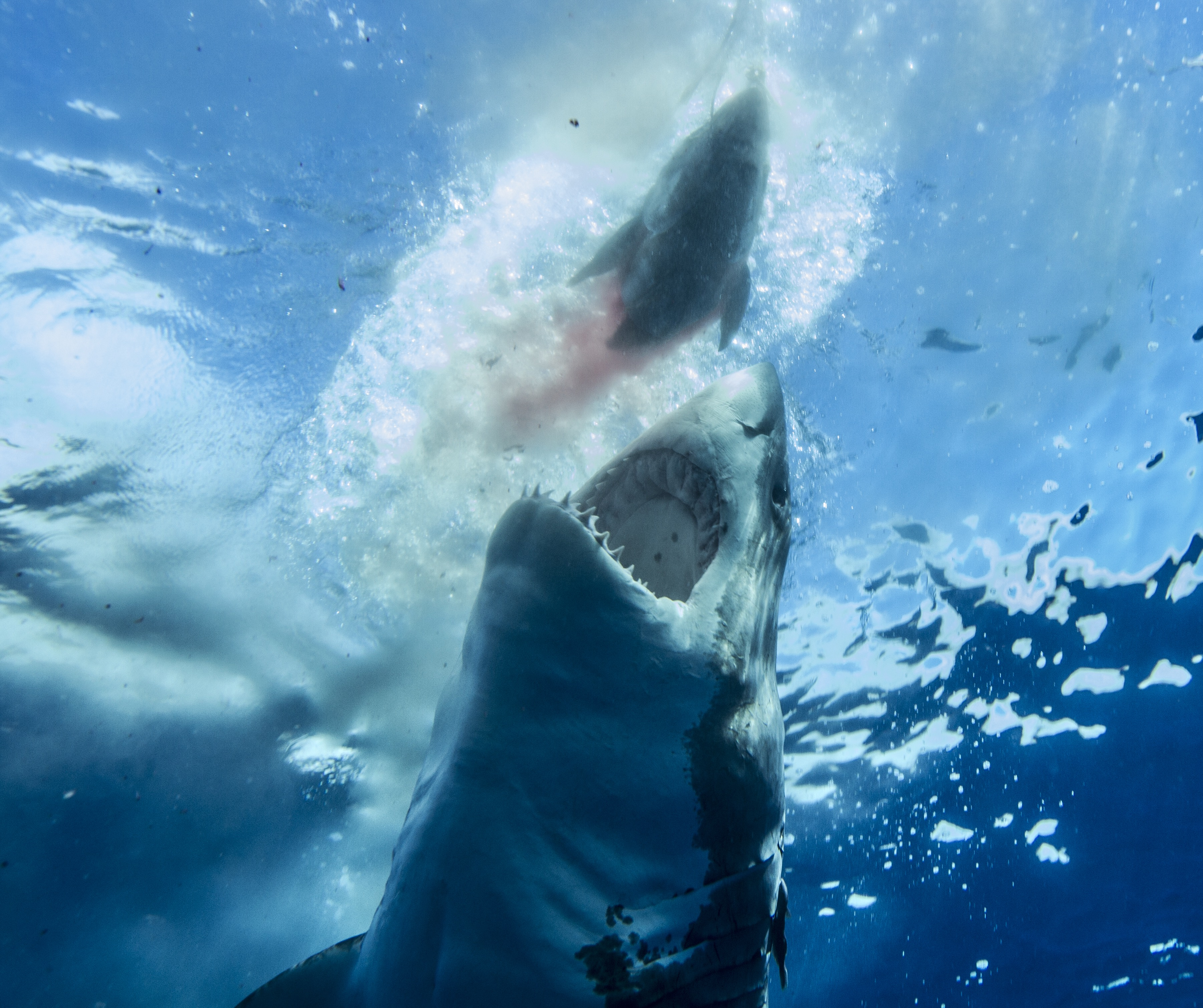 Great white shark employs vertical attack on prey decoy