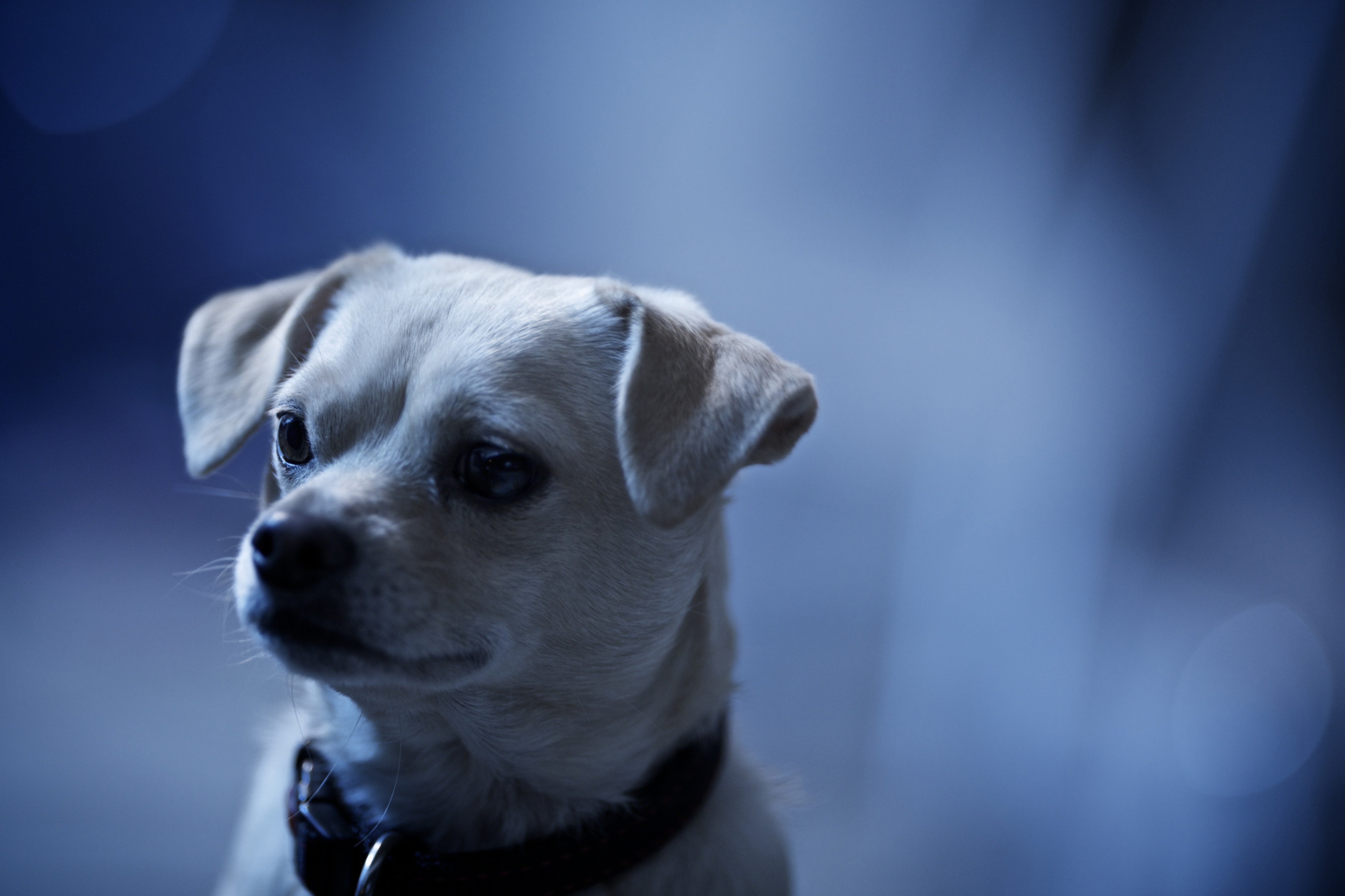 собака мордочка уши  № 1069405 загрузить